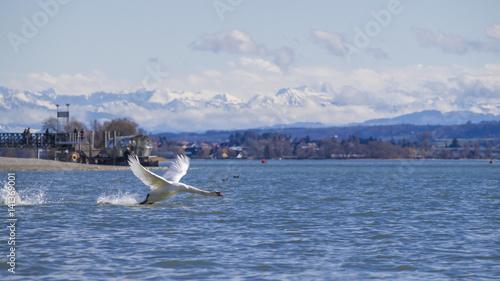 Schwan fliegt über den Bodensee
