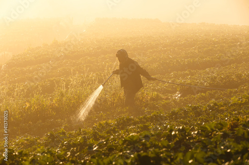 Staande foto Meloen Worker harvesting strawberry in strawberry field at Doi Ang Khang Chiang Mai, Thailand