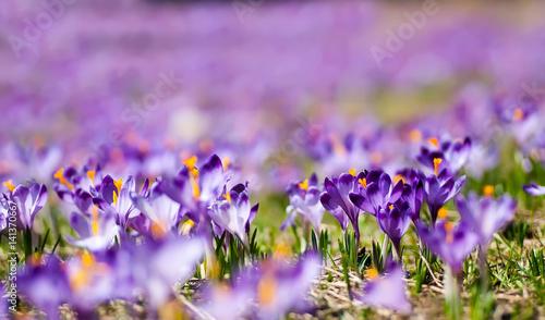 Foto auf Gartenposter Landschappen Purple crocuses on a meadow