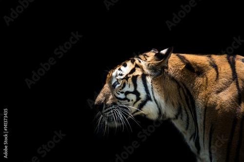 Foto auf AluDibond Tiger Portrait of a tiger alert and staring at the camera