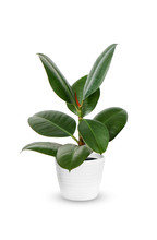 Young Ficus Elastica A Potted ...