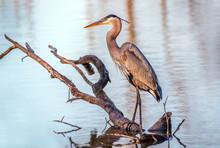 Chesapeake Bay Great Blue Heron Fishing In A Pond