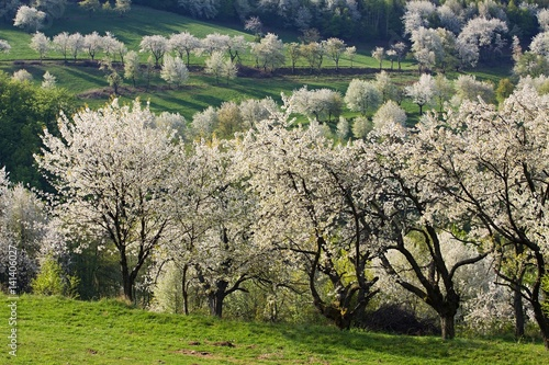 Spring meadows and fields landscape in Slovakia. Blooming cherry trees. Awakening nature.