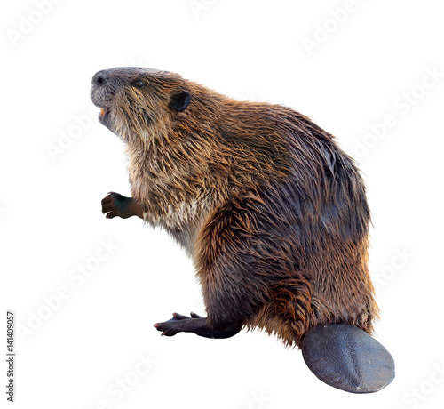 Photo North American Beaver Isolated on a White Background