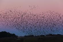 Starling Murmuration Over Mara...