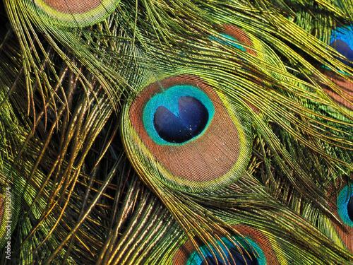 Foto op Aluminium Pauw Peacock's tail macro colorfull