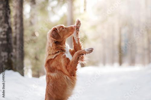 Carta da parati Nova Scotia Duck Tolling Retriever dog on nature in the forest