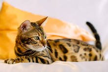 Lazy Bengal Cat Laying On Bed