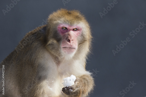 In de dag Japanese macaque also known as the snow monkey