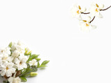 Beautiful gardenia flower on white background