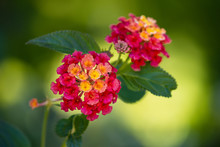 Bright Red And Yellow Lantana Flowers