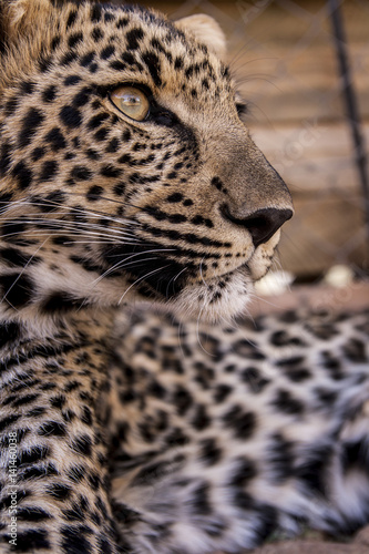 Foto auf Leinwand Leopard Leopard cub - cuteness