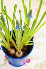 Muscari Growing In A Blue Pot View From Above