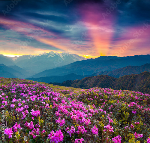 Fototapety, obrazy: Colorful summer landscape with blooming rhododendron flowers.