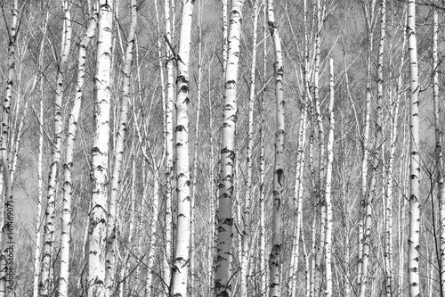 Fototapety, obrazy: birch forest, black-white photo