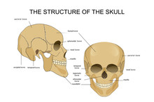The Structure Of The Skull