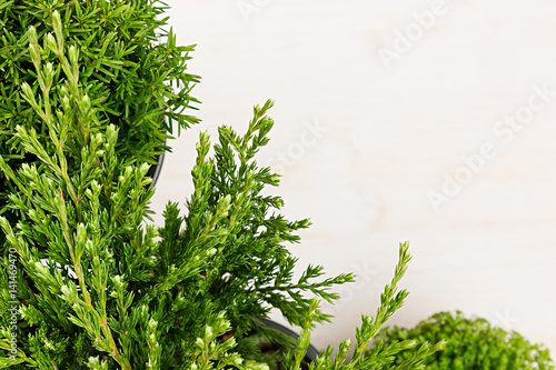 Fotografie, Tablou Eco border of green young conifer branches close up on beige wood board background