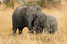 The Two Brothers Elephants