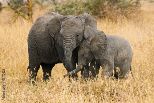 Photo  The two brothers elephants