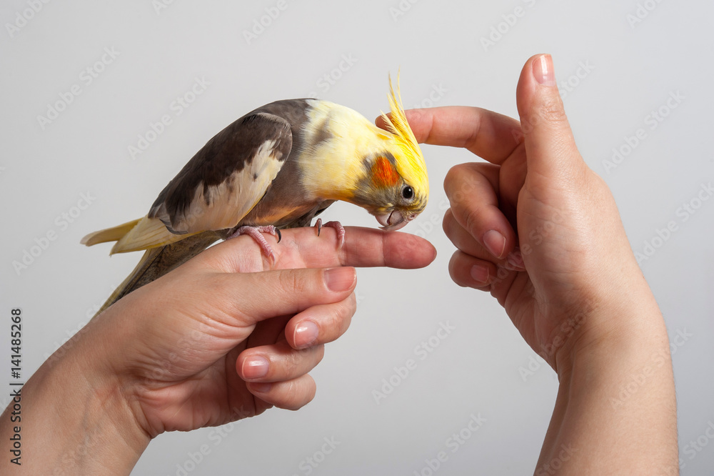 Colorful parrot bird (Corella/Nymphicus) sitting on the woman's hand isolated on gray background