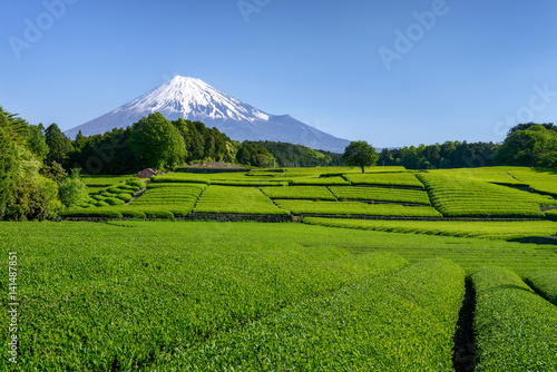 Fotografie, Obraz  富士山と茶畑
