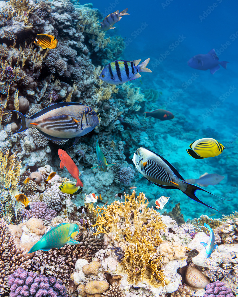 Fototapeta Colorful coral reef fishes of the Red Sea.