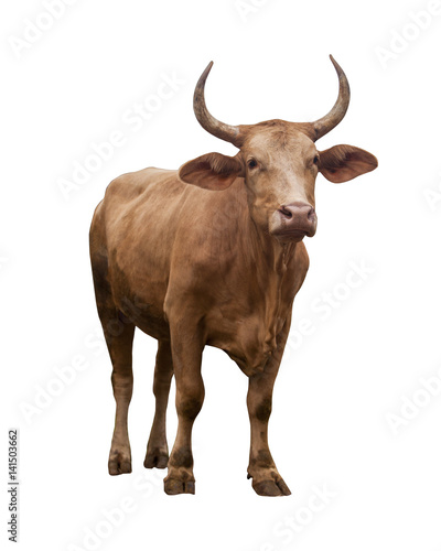 Cow isolated on white Canvas Print
