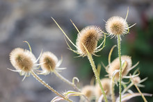 Withered Thistles