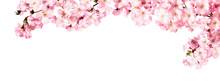 Kirschblüten Als Panorama Hin...