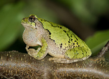 Grey Tree Frog Sitting On Cher...