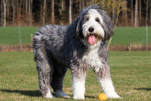 Bearded Collie Dog In Meadow
