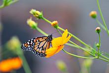 Beautiful Butterfly On An Oran...
