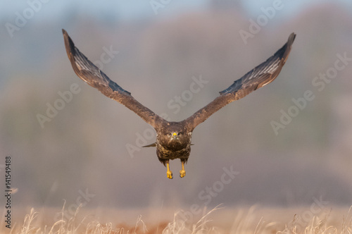 Poster Aigle Flying over a meadow on a sunny day / common buzzard