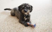 Scruffy Yorkiechon Puppy With ...