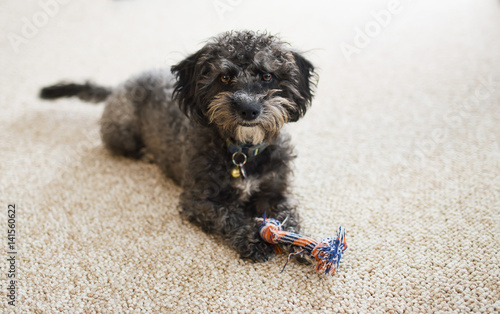 Fotografia, Obraz  Scruffy Yorkiechon puppy with toy indoors