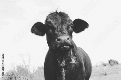 Photo Stands Cow Cute cow in black and white vintage feel, great for animal background or decor print. Really shows off the livestock and rural lifestyle.