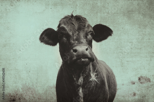 Photo Stands Cow Cute angus cow on farm with vintage grunge effect. Black heifer face against rural sky, great for background or print.