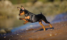 Miniature Pinscher Running Ful...