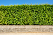 Growing Green Hedge On Concret...
