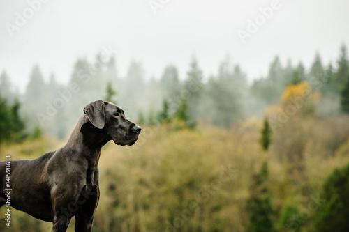 Fototapeta Great Dane dog standing by foggy forest obraz