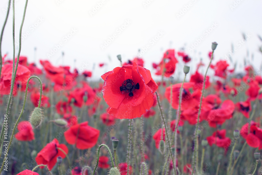 Red poppies in the field, background