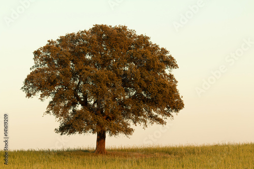 Solitary holm oak rounded of fog Canvas Print