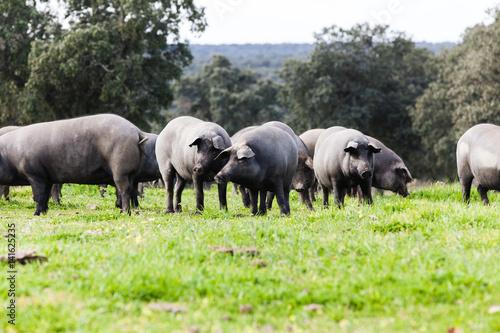 Fotomural Iberian pig herd pasturing in a green meadow.