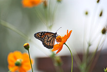 Monarch Butterfly On An Orange...