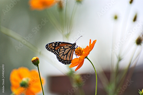 Carta da parati Monarch butterfly on an orange flowers with a colorful background