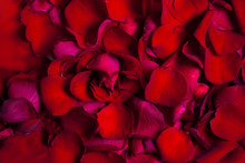 Red Rose Flower  Leaves  Background.  Valentine Or Wedding Greeting Card
