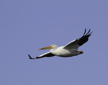 A Single White Pelican With Wings Extended In Flight.