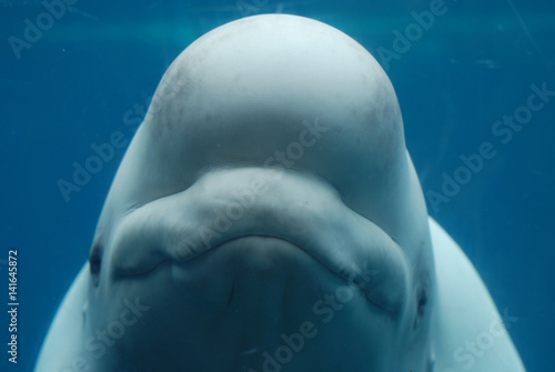 Happy Face of a Beluga Whale Underwater