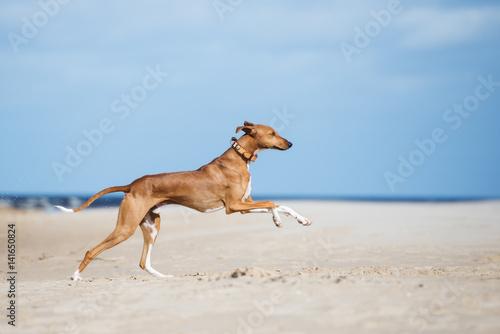Valokuva happy azawakh dog running on the beach