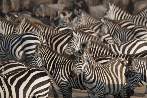 Aluminium Prints Zebra Kenya, Africa
